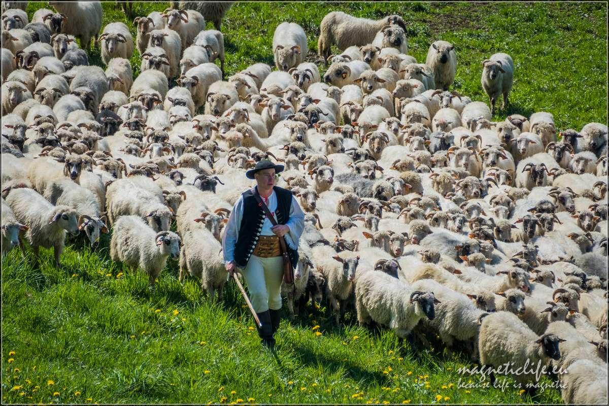 Koniaków Ochodzita koronki iredyk. Mieszanie owiec