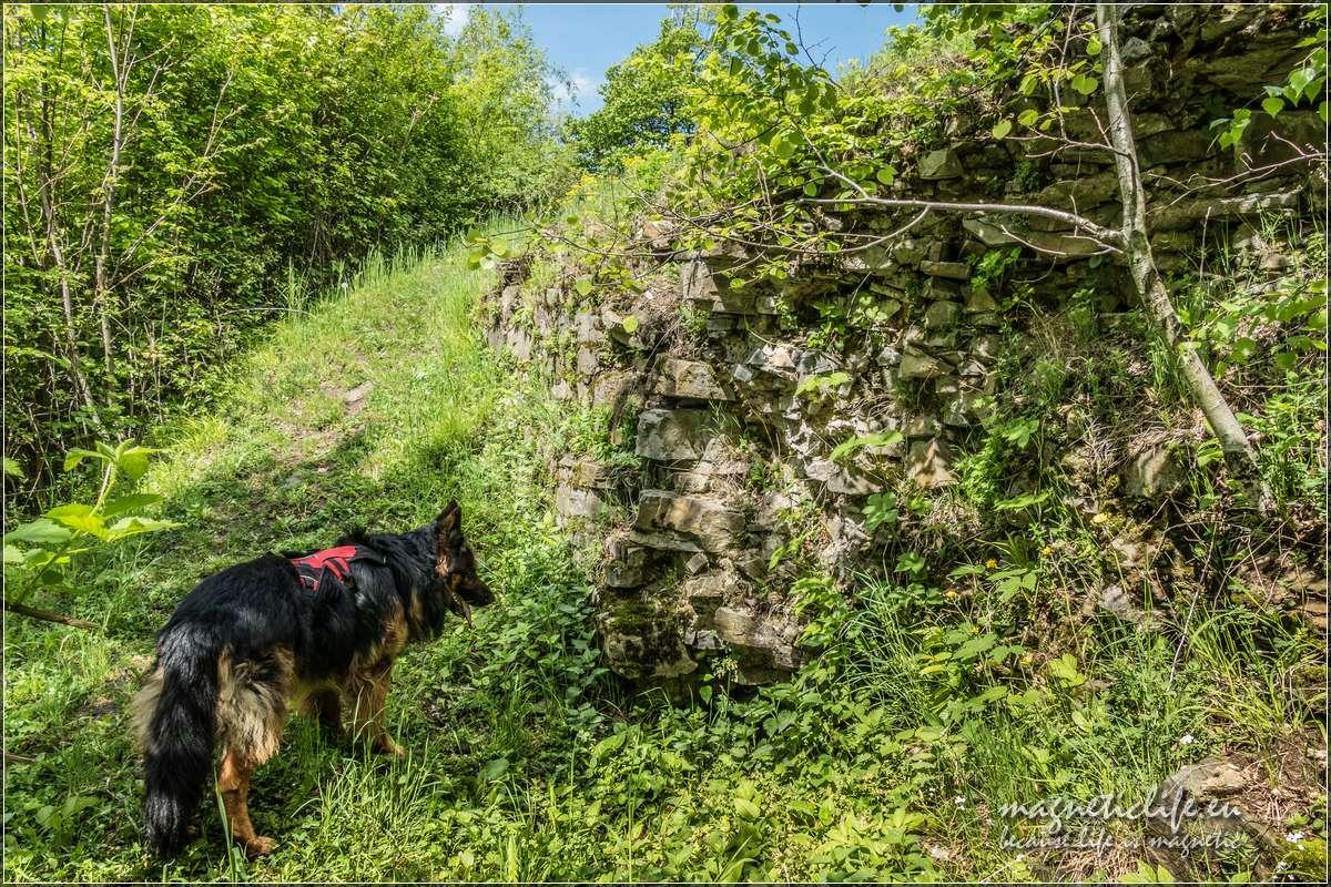 Pies szuka skarbów wresztkach murów obronnych