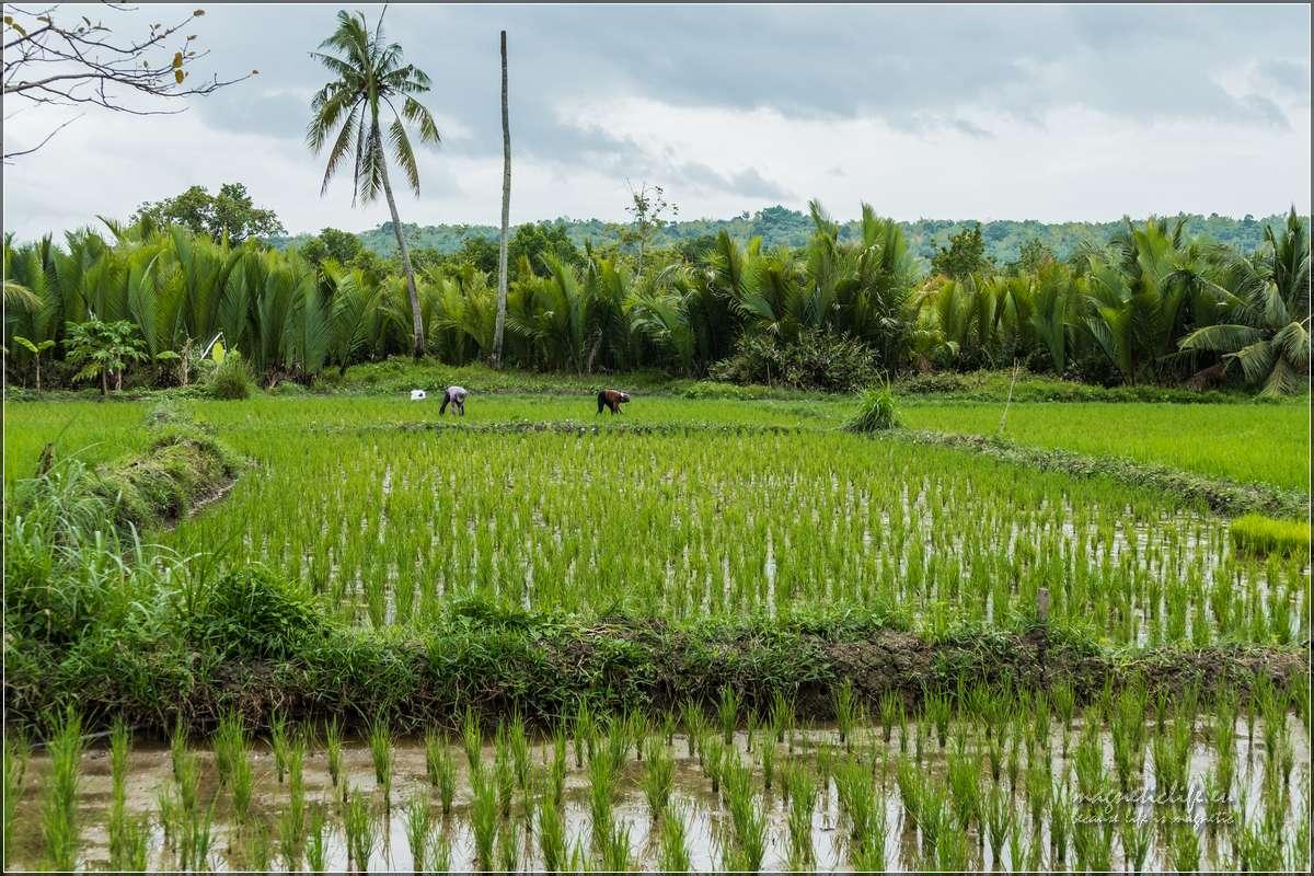 Bohol pole ryżowe